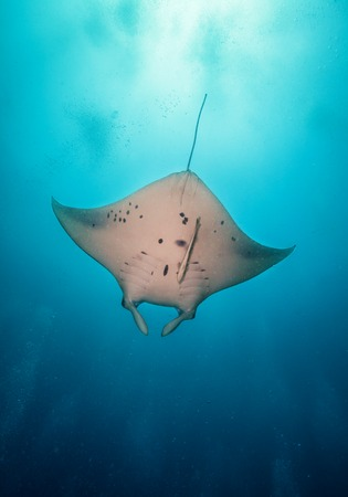 Beautiful big manta ray floating in deep blue ocean, Indian ocean, Maldives Stock Photo