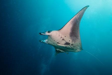blue ray: Beautiful big manta ray floating in deep blue ocean, Indian ocean, Maldives Stock Photo