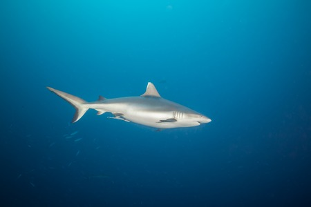 great danger: Grey reef shark floating in deep water blue with sunrays