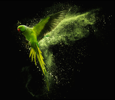 Flying green parrot Alexandrine parakeet with colored powder clouds. Isolated on black background Standard-Bild