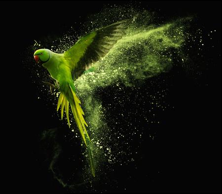 Vliegende groene papegaai Alexandrine parket met gekleurde poederwolken. Geïsoleerd op zwarte achtergrond Stockfoto