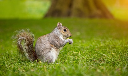 Grey squirrel, Sciurus Carolinensis, eating some nuts on grass.