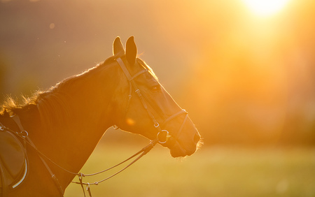 Portrait of brown horse in backlight of summer sunset, outdoor photography. Lifestyle mood