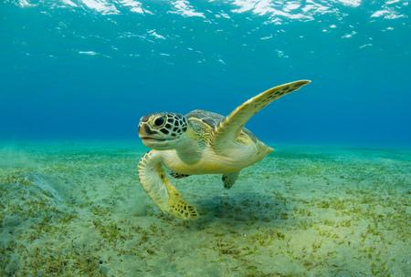 Karetschildpad die zeegras van zandbodem eet. Fotograferen van wilde dieren onder water, onderwaterleven, duiken en snorkelen. Stockfoto - 84346519