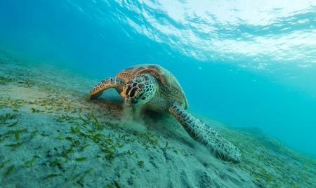 Hawksbill Schildkröte essen Meer Gras von sandigen Boden. Wildtier Unterwasserfotografie, Meeresleben, Tauchen und Schnorcheln.