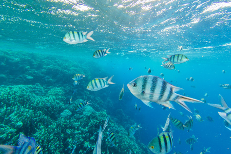 Shoal of fish in Red sea, Egypt. Tropical sea with beautiful ocean ecosystem. Stock Photo