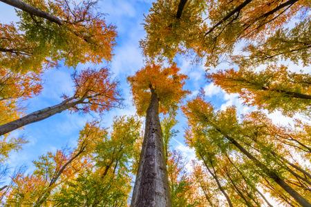Autumn beech trees crowns. Beautiful seasonal nature photography. Stock Photo