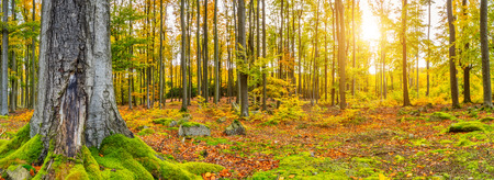 Beautiful colored beech trees in autumn, landscape photography. Outdoor and nature photography. Stock Photo
