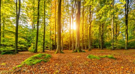 Mooie gekleurde beukbomen in de herfst, landschapsfotografie. Outdoor- en natuurfotografie.