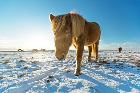 冬の風景のアイスランドの馬。アイスランドの動物相の象徴的なシンボル、観光スポット