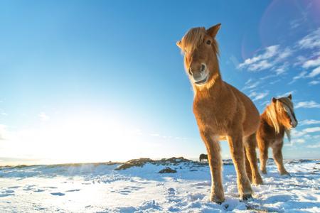 冬の風景の中で馬のアイスランドの群れ。アイスランドの動物相の象徴的なシンボル、観光スポット