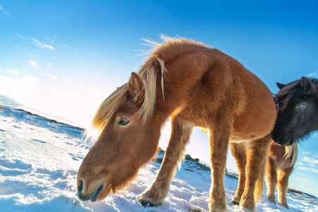 Icelandic herd of horses in winter landscape. Iconic symbol of Iceland fauna, tourist point of interest Stock Photo