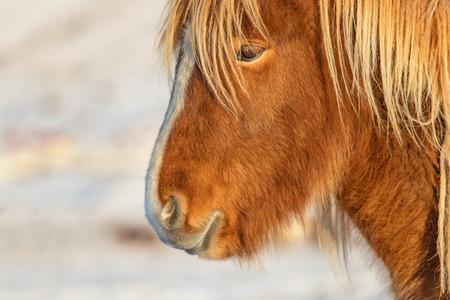Icelandic horse portrait in winter landscape in detail. Iconic symbol of Iceland fauna, tourist point of interest