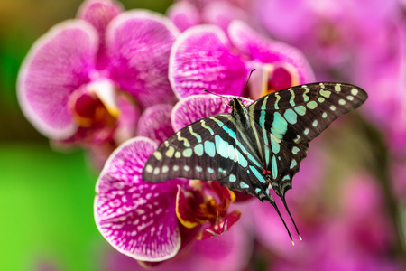Beautiful butterfly Tailed jay, Graphium agamemnon, in tropical forest sitting on blossom. Tropical nature of rain forest, butterfly insect macro photography. Stockfoto
