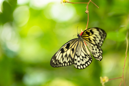 Beautiful butterfly Paper Kite, Idea leuconoe in tropical forest sitting on green leaves. Tropical nature of rain forest, butterfly insect macro photography.