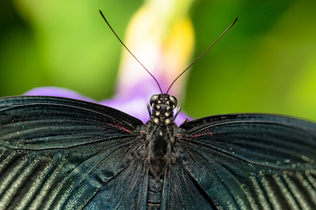 Beautiful butterfly Great Mormon, Papilio memnon in tropical forest sitting on blossom. Tropical nature of rain forest, butterfly insect macro photography. Closeup