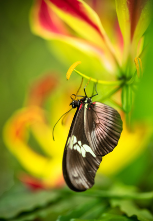 Beautiful butterfly Heliconius Hacale zuleikas in tropical forest sitting on blossom. Tropical nature of rain forest, butterfly insect macro photography.