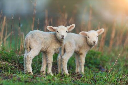 Cute young lambs on pasture, early morning in spring. Symbol of spring and newborn life.