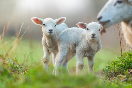 Cute young lambs with their mother on pasture, early morning in spring. Symbol of spring and newborn life.