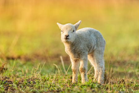 Cute young lamb on pasture, early morning in spring. Symbol of spring and newborn life.