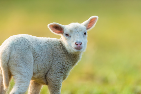 Cute young lamb on pasture, early morning in spring. Symbol of spring and newborn life. Zdjęcie Seryjne - 99608028