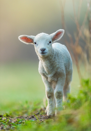 Cute young lamb on pasture, early morning in spring. Symbol of spring and newborn life. Zdjęcie Seryjne - 99608030