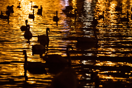 Group of swans swimming in river Vltava in Prague city. Night photography Stockfoto
