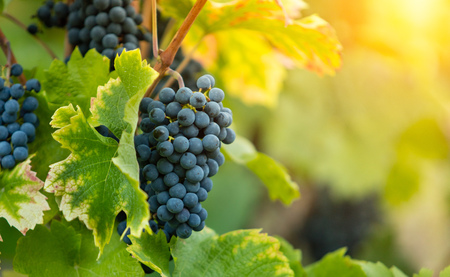 Detail of red wine grapes in wineyard with beautiful sunset light
