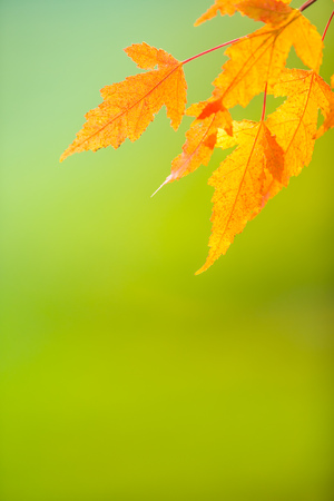 Abstract colourful autumn leaves on soft background. Free space for text, holidays motive. Standard-Bild - 110567057