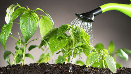 Watering young plant leaves in detail. Gardening and plant growth concept.