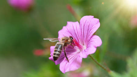 A Bee hovering pollen from pink blossom. Macro shot, nature outdoor photography on blooming meadow.