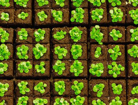 briquettes: Seedlings in briquettes