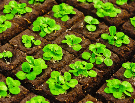 briquettes: The square organic briquettes with small seedlings Stock Photo