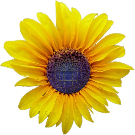 sunflower and solar cell photo