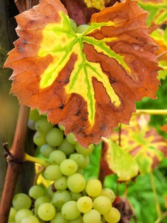 culture of vines and grapes Reklamní fotografie