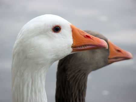 the wild geese on a lake Stock Photo