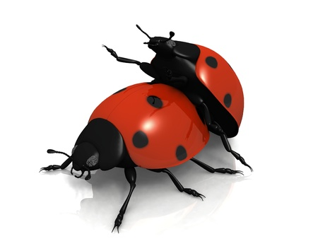 reproduction: the reproduction of ladybug on white background