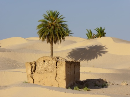 the palm tree in a desert  of sand photo