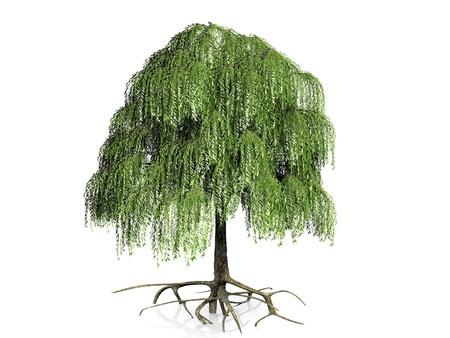 흰색 배경에 버드 나무