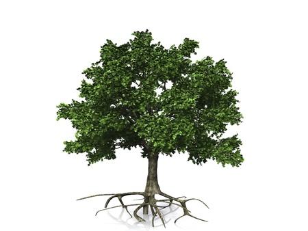 arbol alamo: roble sobre fondo blanco