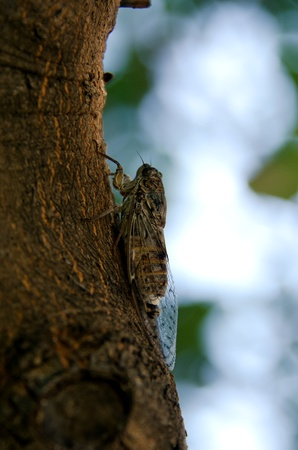 the cicada in the tree photo