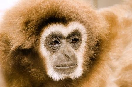 gibbon: the gibbon
