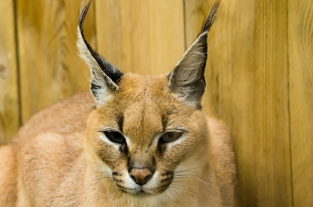 the caracal photo
