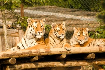 tigresa: los tigres