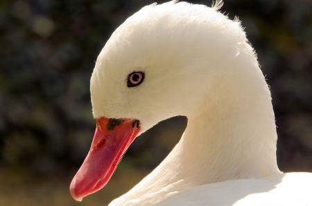 the head of a white goose photo