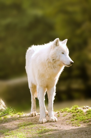 the white wolf photo
