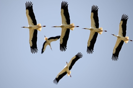 flight of storks Stock Photo - 11440005
