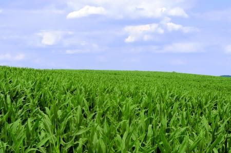 planta de maiz: el campo de maíz Foto de archivo