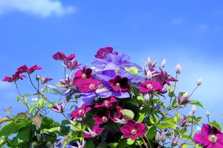 the clematis photo