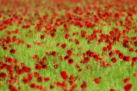 the poppies field photo